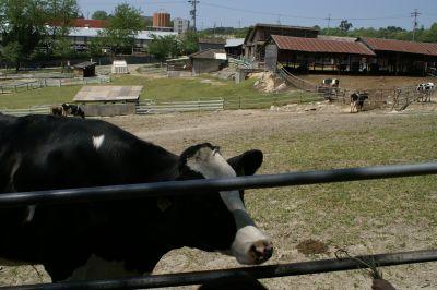 愛知牧場の牛