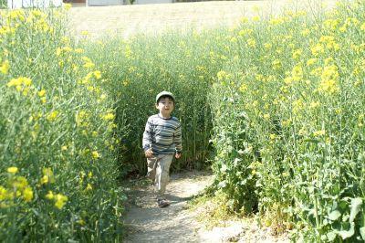 菜の花畑の迷路