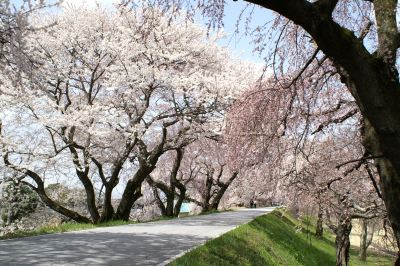光明寺公園木曽川堤の桜