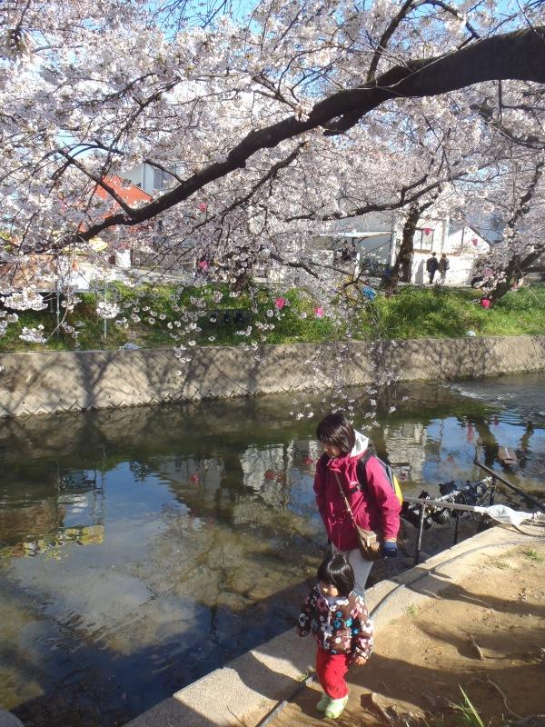 岩倉市五条川の桜祭り